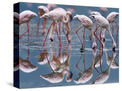 Lesser Flamingos and their Reflections, Kenya, Africa-Tim Fitzharris-Stretched Canvas Print