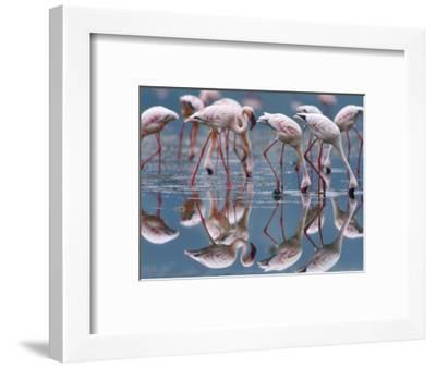 Lesser Flamingos and their Reflections, Kenya, Africa-Tim Fitzharris-Framed Photographic Print