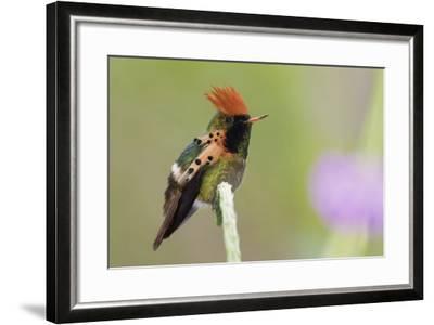 Tufted Coquette Hummingbird-Ken Archer-Framed Photographic Print