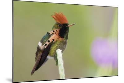 Tufted Coquette Hummingbird-Ken Archer-Mounted Photographic Print
