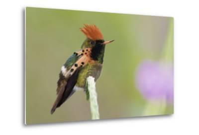 Tufted Coquette Hummingbird-Ken Archer-Metal Print