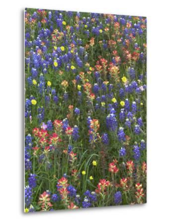 Bluebonnets, Paintbrushes and False Dandelion Near Cat Spring, Texas, Usa-Tim Fitzharris-Metal Print