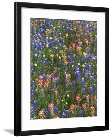 Bluebonnets, Paintbrushes and False Dandelion Near Cat Spring, Texas, Usa-Tim Fitzharris-Framed Photographic Print