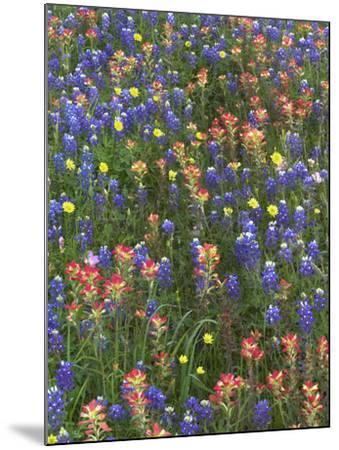 Bluebonnets, Paintbrushes and False Dandelion Near Cat Spring, Texas, Usa-Tim Fitzharris-Mounted Photographic Print