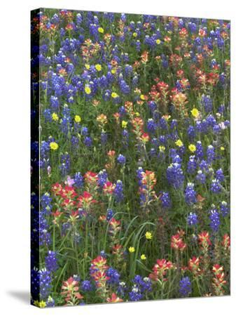 Bluebonnets, Paintbrushes and False Dandelion Near Cat Spring, Texas, Usa-Tim Fitzharris-Stretched Canvas Print