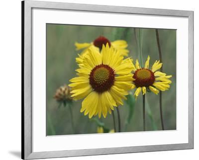 Close-Up of Yellow Blanket Flowers, Usa-Tim Fitzharris-Framed Photographic Print