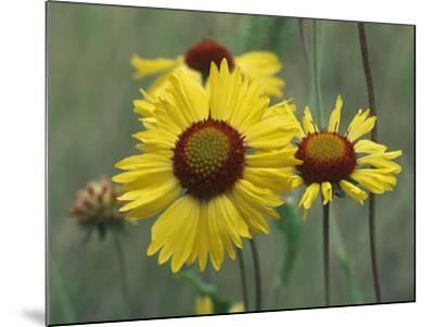 Close-Up of Yellow Blanket Flowers, Usa-Tim Fitzharris-Mounted Photographic Print