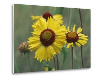 Close-Up of Yellow Blanket Flowers, Usa-Tim Fitzharris-Metal Print