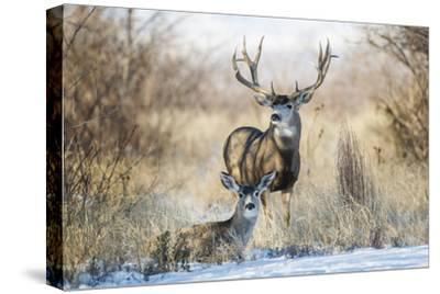 Mule Deer Buck and Doe Bedded-Larry Ditto-Stretched Canvas Print