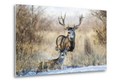 Mule Deer Buck and Doe Bedded-Larry Ditto-Metal Print