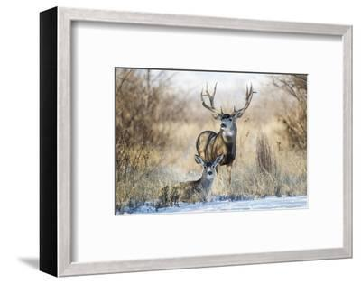 Mule Deer Buck and Doe Bedded-Larry Ditto-Framed Photographic Print