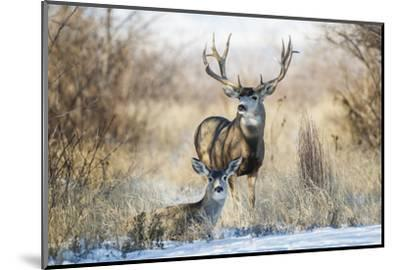 Mule Deer Buck and Doe Bedded-Larry Ditto-Mounted Photographic Print