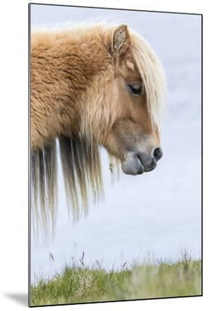 Shetland Pony on the Island of Foula, Part of the Shetland Islands in Scotland-Martin Zwick-Mounted Photographic Print