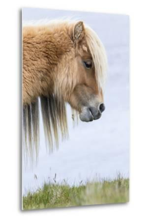 Shetland Pony on the Island of Foula, Part of the Shetland Islands in Scotland-Martin Zwick-Metal Print