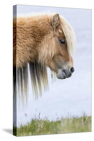 Shetland Pony on the Island of Foula, Part of the Shetland Islands in Scotland-Martin Zwick-Stretched Canvas Print
