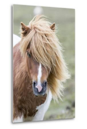 Shetland Pony on the Island of Unst, Part of the Shetland Islands in Scotland-Martin Zwick-Metal Print