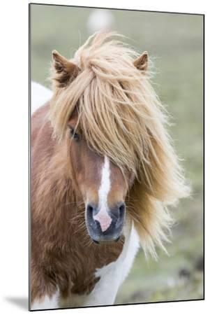 Shetland Pony on the Island of Unst, Part of the Shetland Islands in Scotland-Martin Zwick-Mounted Photographic Print
