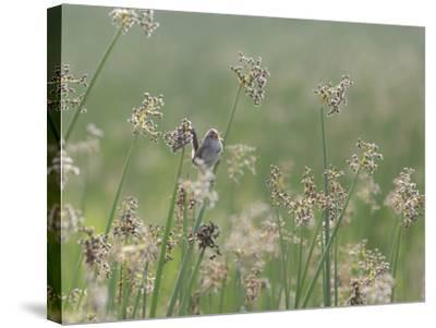 Washington State, Ridgefield National Wildlife Refuge. Marsh Wren Singing on Reed-Jaynes Gallery-Stretched Canvas Print