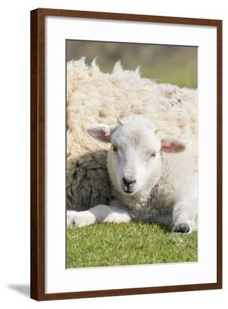 Shetland Sheep at the Cliffs of the Hermaness Nature Reserve, Unst, Shetland Islands, Scotland-Martin Zwick-Framed Photographic Print
