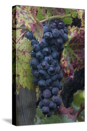 California. Early Morning Dew on Grapes on Vine in Vineyard in Sonoma County-Judith Zimmerman-Stretched Canvas Print