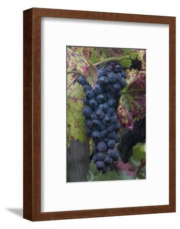California. Early Morning Dew on Grapes on Vine in Vineyard in Sonoma County-Judith Zimmerman-Framed Photographic Print
