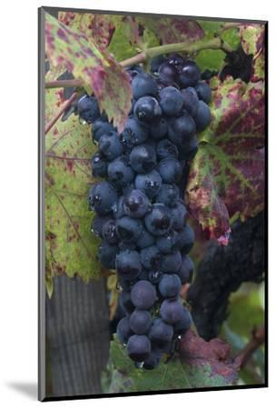 California. Early Morning Dew on Grapes on Vine in Vineyard in Sonoma County-Judith Zimmerman-Mounted Photographic Print