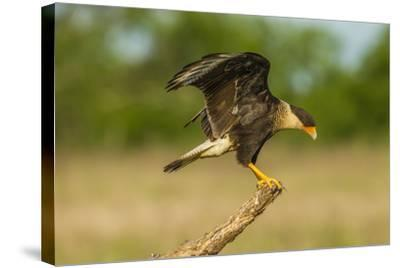 Texas, Hidalgo County. Crested Caracara on Limb-Jaynes Gallery-Stretched Canvas Print