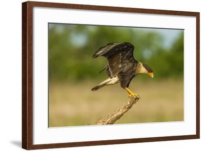 Texas, Hidalgo County. Crested Caracara on Limb-Jaynes Gallery-Framed Photographic Print