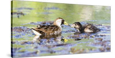 Wyoming, Sublette County, Sora Feeds Chick in a Pond-Elizabeth Boehm-Stretched Canvas Print