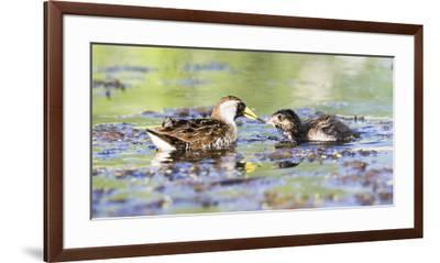 Wyoming, Sublette County, Sora Feeds Chick in a Pond-Elizabeth Boehm-Framed Premium Photographic Print