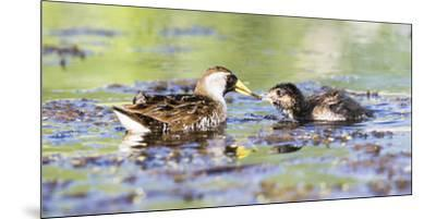 Wyoming, Sublette County, Sora Feeds Chick in a Pond-Elizabeth Boehm-Mounted Premium Photographic Print