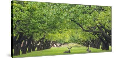 Utah, Capitol Reef National Park. Deer in Sylvan Orchard-Jaynes Gallery-Stretched Canvas Print