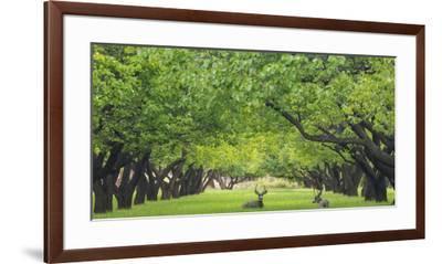 Utah, Capitol Reef National Park. Deer in Sylvan Orchard-Jaynes Gallery-Framed Premium Photographic Print
