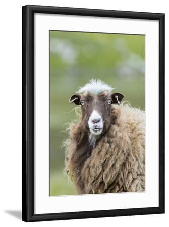Foula Sheep on the Island of Foula. Shetland Islands, Scotland-Martin Zwick-Framed Photographic Print