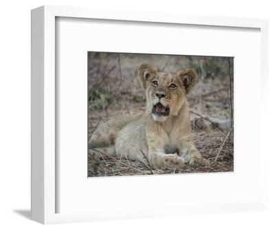 Africa, Zambia. Portrait of Lion Cub-Jaynes Gallery-Framed Photographic Print