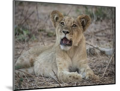 Africa, Zambia. Portrait of Lion Cub-Jaynes Gallery-Mounted Photographic Print
