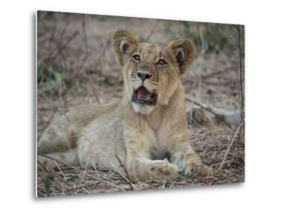 Africa, Zambia. Portrait of Lion Cub-Jaynes Gallery-Metal Print
