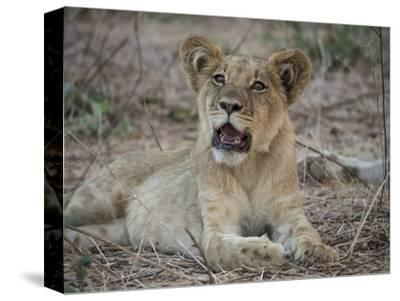 Africa, Zambia. Portrait of Lion Cub-Jaynes Gallery-Stretched Canvas Print