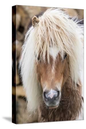Shetland Pony on the Island of Unst, Part of the Shetland Islands in Scotland-Martin Zwick-Stretched Canvas Print