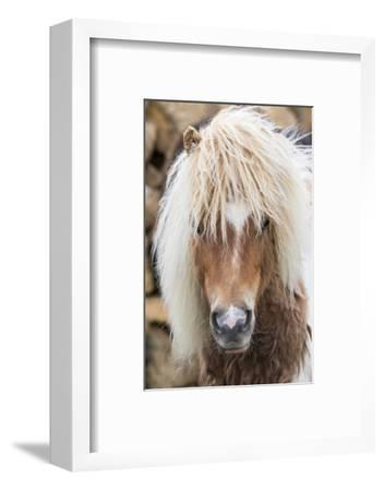Shetland Pony on the Island of Unst, Part of the Shetland Islands in Scotland-Martin Zwick-Framed Photographic Print