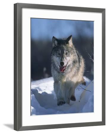 Gray Wolf Running Along a Trail in Snow, Montana-Tim Fitzharris-Framed Photographic Print