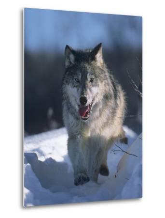 Gray Wolf Running Along a Trail in Snow, Montana-Tim Fitzharris-Metal Print