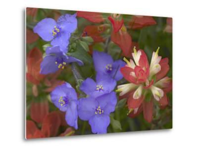 Close-Up of Spiderwort and Paintbrushes, Texas, Usa-Tim Fitzharris-Metal Print