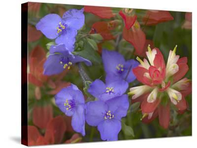 Close-Up of Spiderwort and Paintbrushes, Texas, Usa-Tim Fitzharris-Stretched Canvas Print