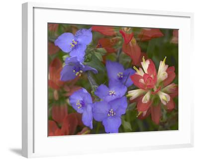 Close-Up of Spiderwort and Paintbrushes, Texas, Usa-Tim Fitzharris-Framed Photographic Print