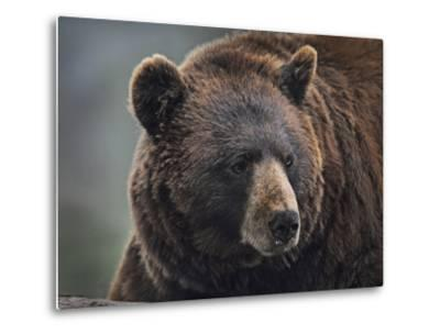 Cinnamon Black Bear. Montana, Usa-Tim Fitzharris-Metal Print