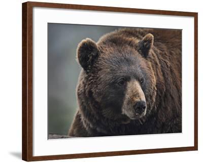 Cinnamon Black Bear. Montana, Usa-Tim Fitzharris-Framed Photographic Print