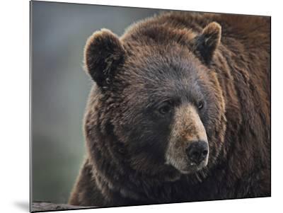 Cinnamon Black Bear. Montana, Usa-Tim Fitzharris-Mounted Photographic Print