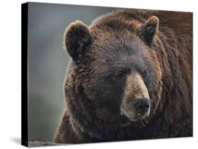 Cinnamon Black Bear. Montana, Usa-Tim Fitzharris-Stretched Canvas Print