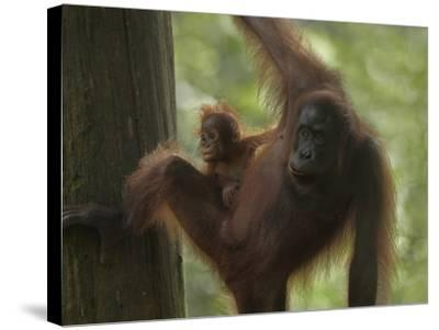 Orangutan Mother with its Baby, Sabah, Malaysia-Tim Fitzharris-Stretched Canvas Print